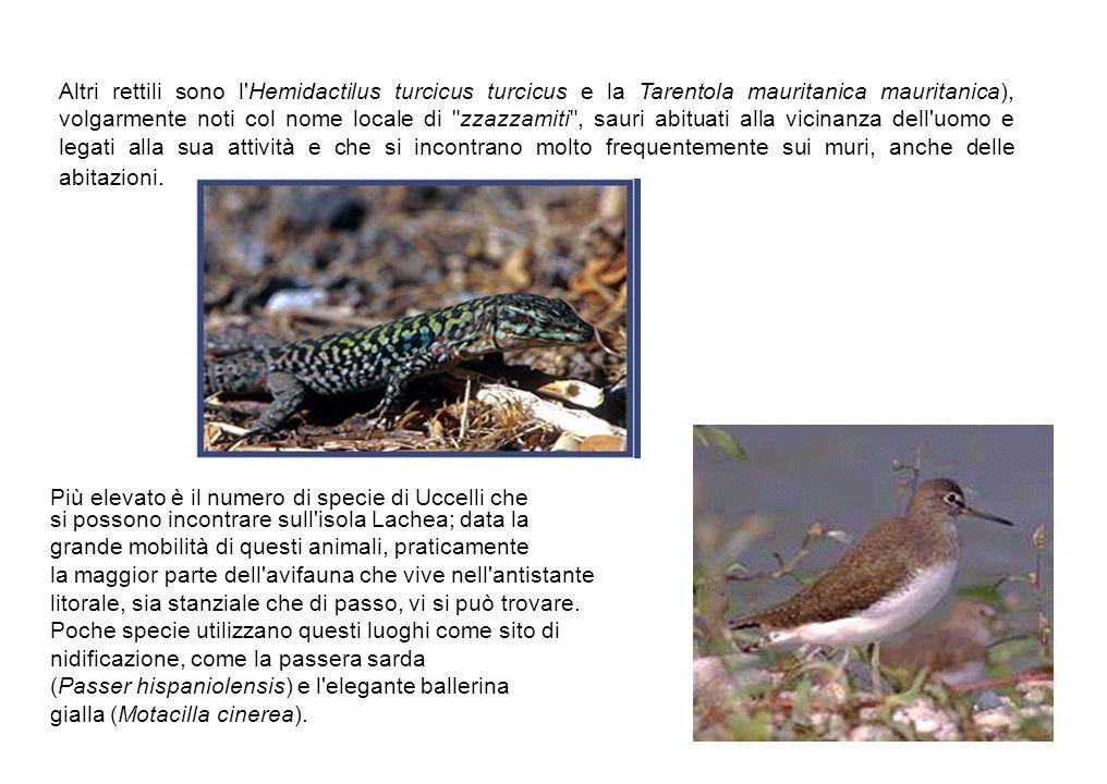 Altri rettili sono l'Hemidactilus turcicus turcicus e la Tarentola mauritanica mauritanica), volgarmente noti col nome locale di