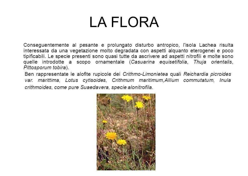 LA FLORA Conseguentemente al pesante e prolungato disturbo antropico, l'isola Lachea risulta interessata da una vegetazione molto degradata con aspett
