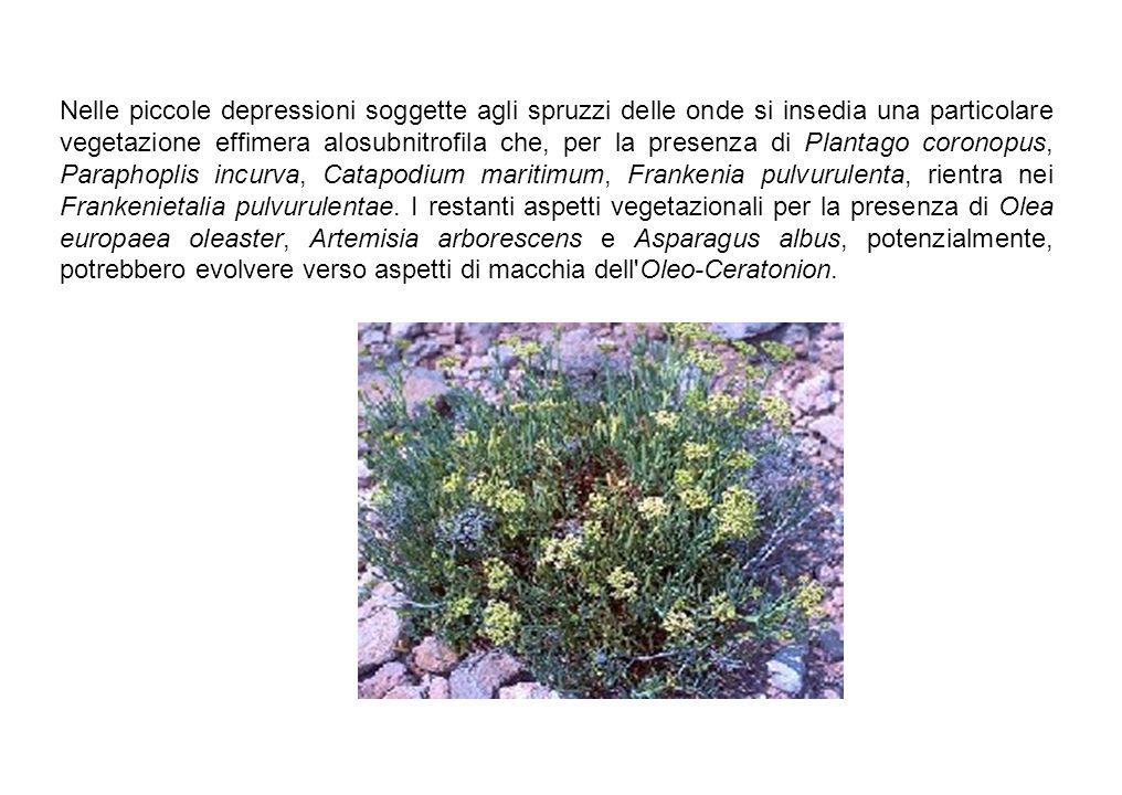 Nelle piccole depressioni soggette agli spruzzi delle onde si insedia una particolare vegetazione effimera alosubnitrofila che, per la presenza di Pla