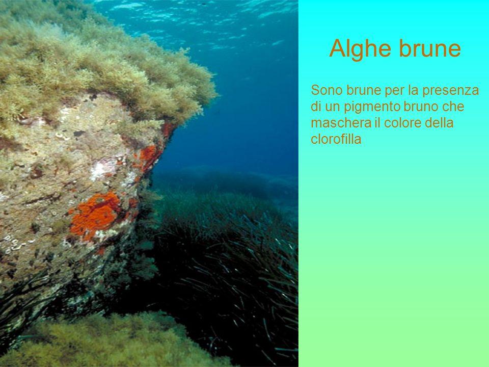 Alghe brune Sono brune per la presenza di un pigmento bruno che maschera il colore della clorofilla