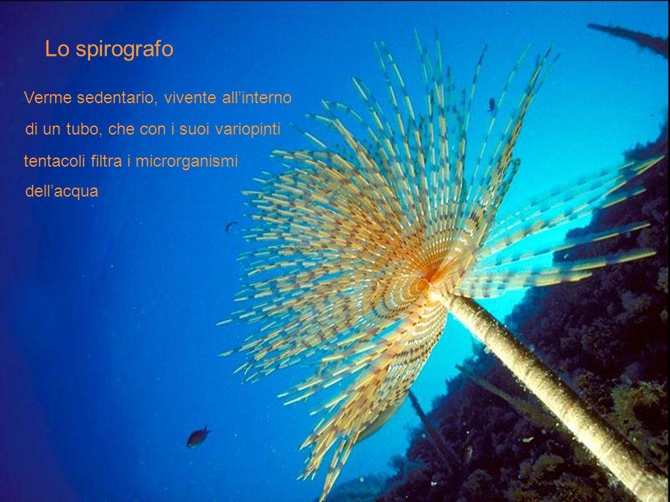 Lo spirografo Verme sedentario, vivente allinterno di un tubo, che con i suoi variopinti tentacoli filtra i microrganismi dellacqua