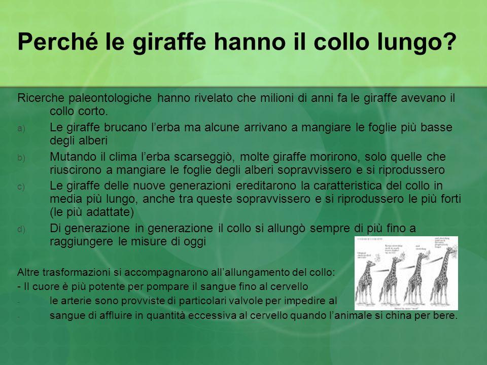 Perché le giraffe hanno il collo lungo? Ricerche paleontologiche hanno rivelato che milioni di anni fa le giraffe avevano il collo corto. a) Le giraff