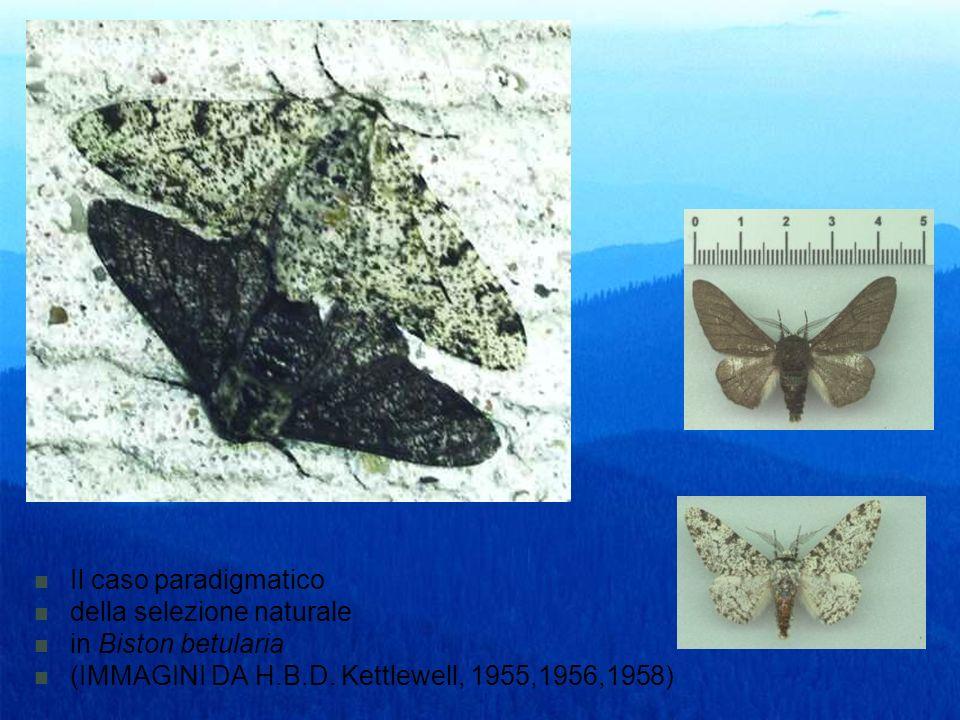 Il caso paradigmatico della selezione naturale in Biston betularia (IMMAGINI DA H.B.D. Kettlewell, 1955,1956,1958)