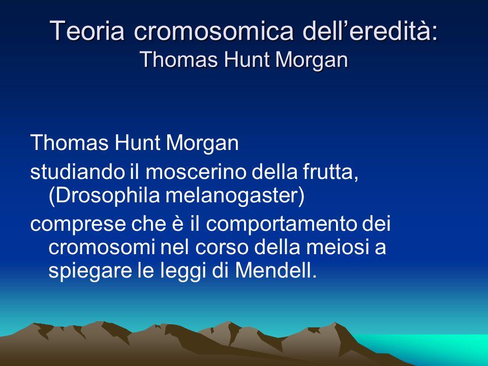 Teoria cromosomica delleredità: Thomas Hunt Morgan Thomas Hunt Morgan studiando il moscerino della frutta, (Drosophila melanogaster) comprese che è il