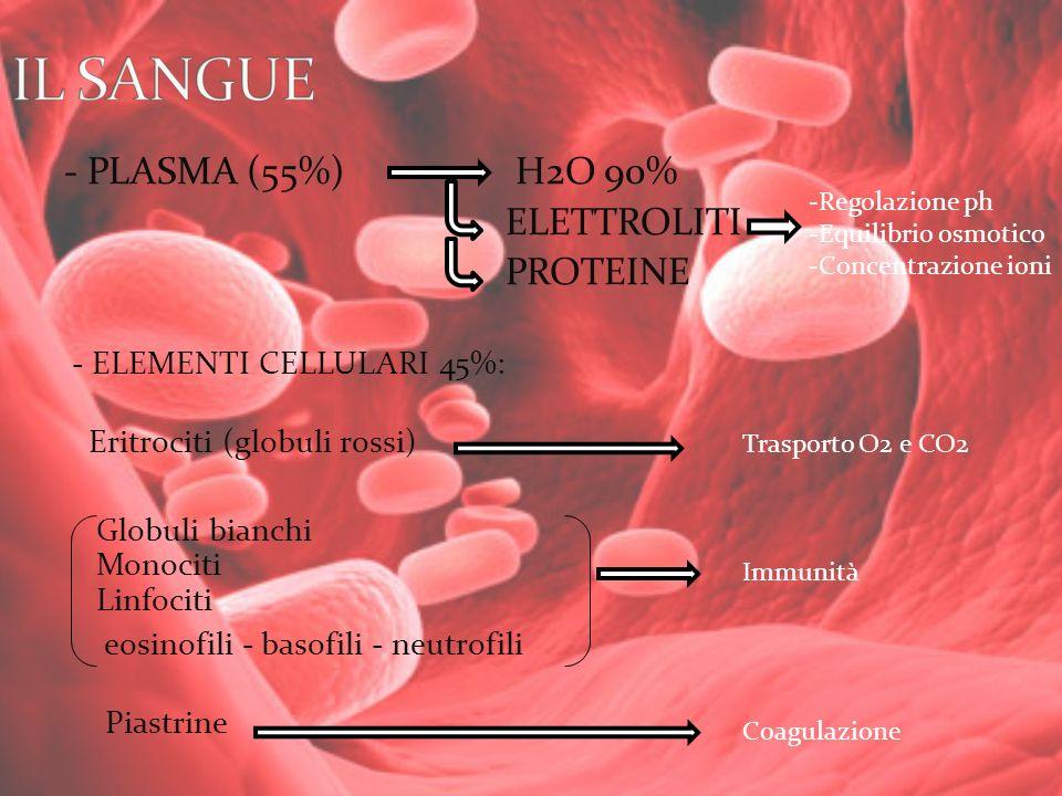 - PLASMA (55%) H2O 90% ELETTROLITI PROTEINE - ELEMENTI CELLULARI 45%: Eritrociti (globuli rossi) Globuli bianchi Monociti Linfociti eosinofili - basof