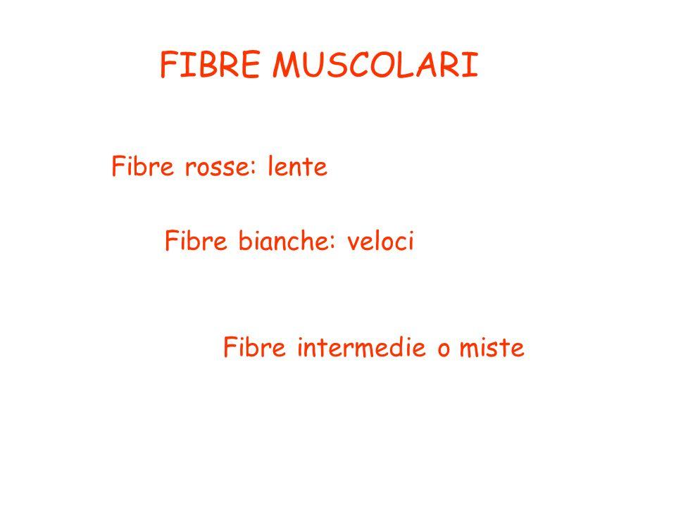 FIBRE MUSCOLARI Fibre rosse: lente Fibre bianche: veloci Fibre intermedie o miste