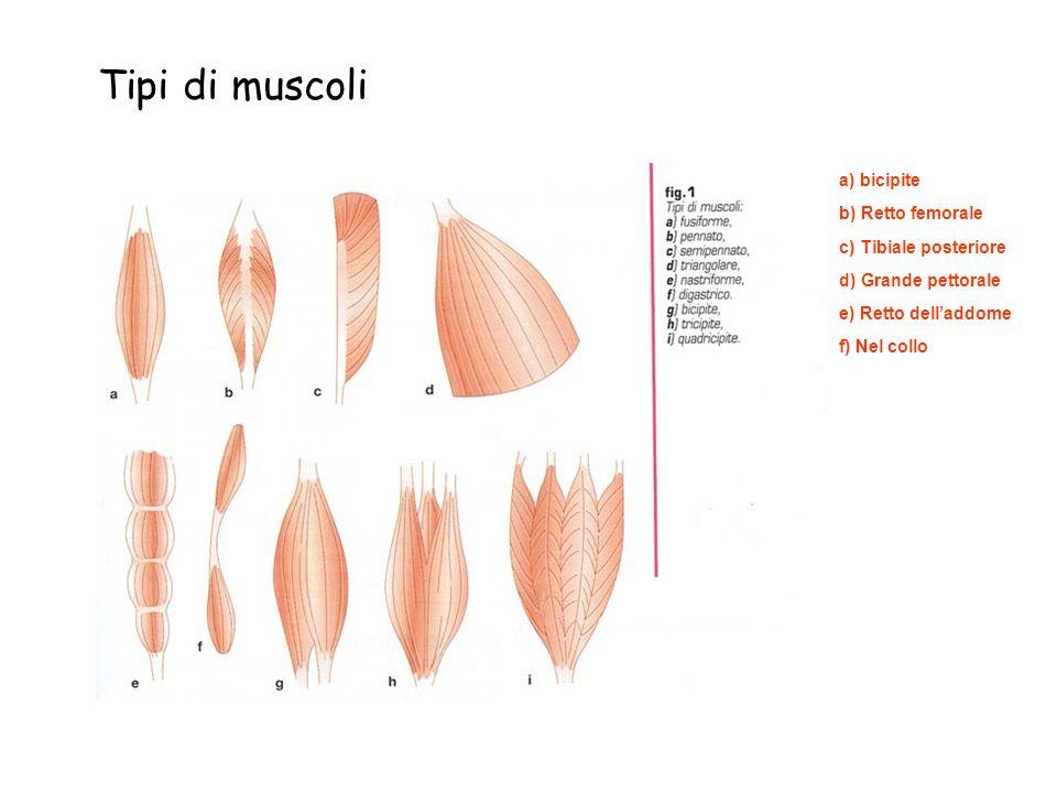 Tipi di muscoli a) bicipite c) Tibiale posteriore d) Grande pettorale e) Retto delladdome b) Retto femorale f) Nel collo