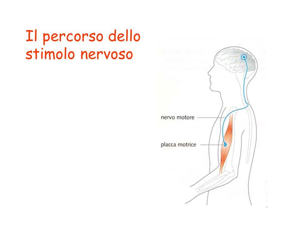 Il percorso dello stimolo nervoso