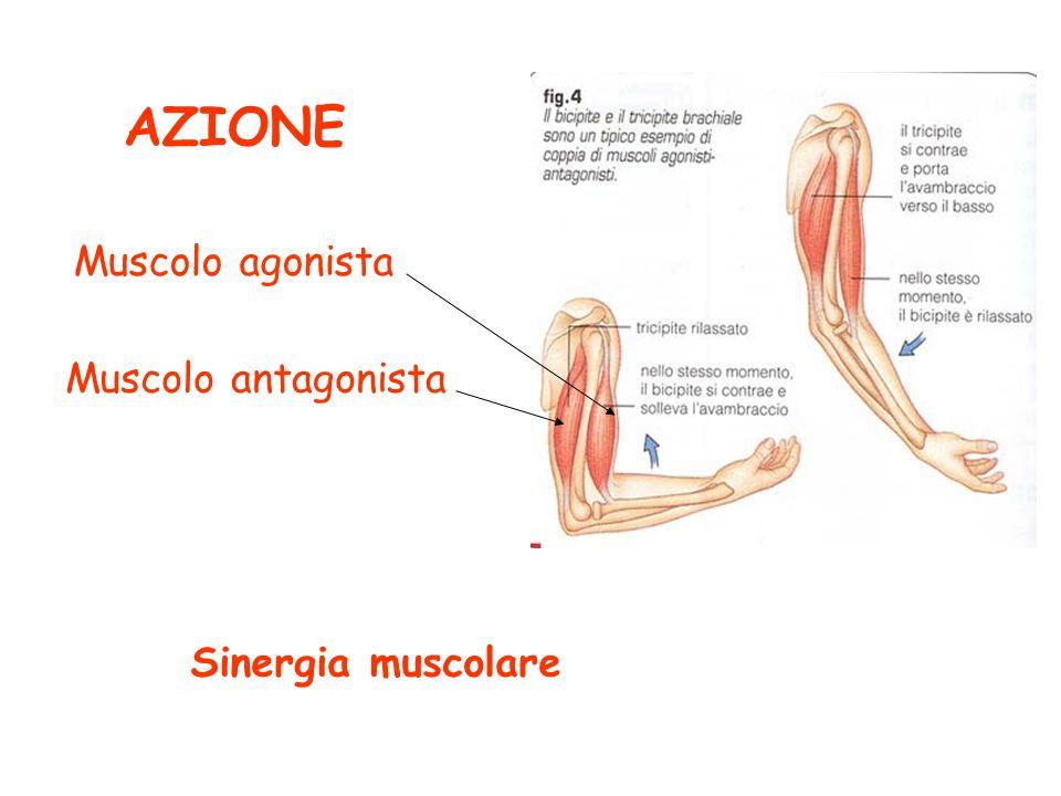 CONTRAZIONE concentrica eccentrica isometrica tono muscolare isotonica