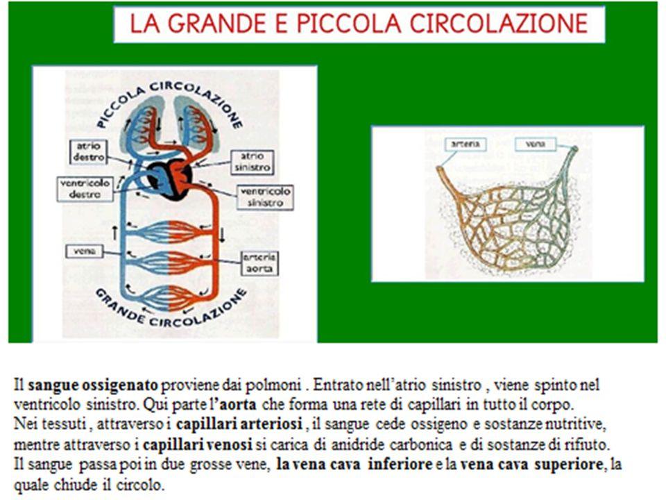 Il cuore Il cuore è un organo cavo presente nella maggior parte degli organismi animali.
