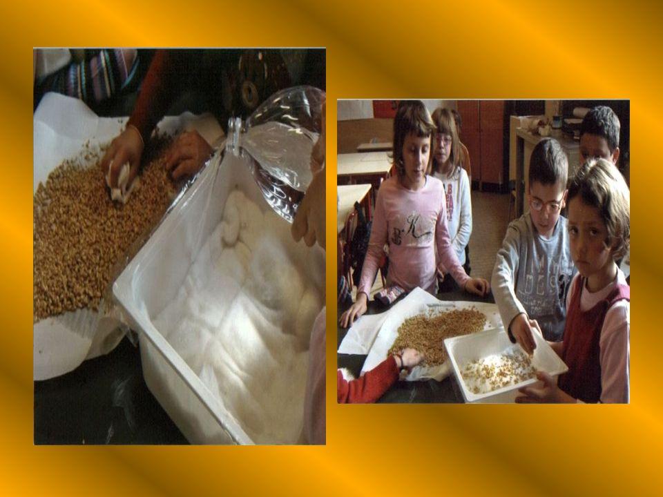 LA SEMINA IN CLASSE Questesperienza ha permesso agli alunni di osservare la germinazione del chicco di grano. Le condizioni di semina sono state due: