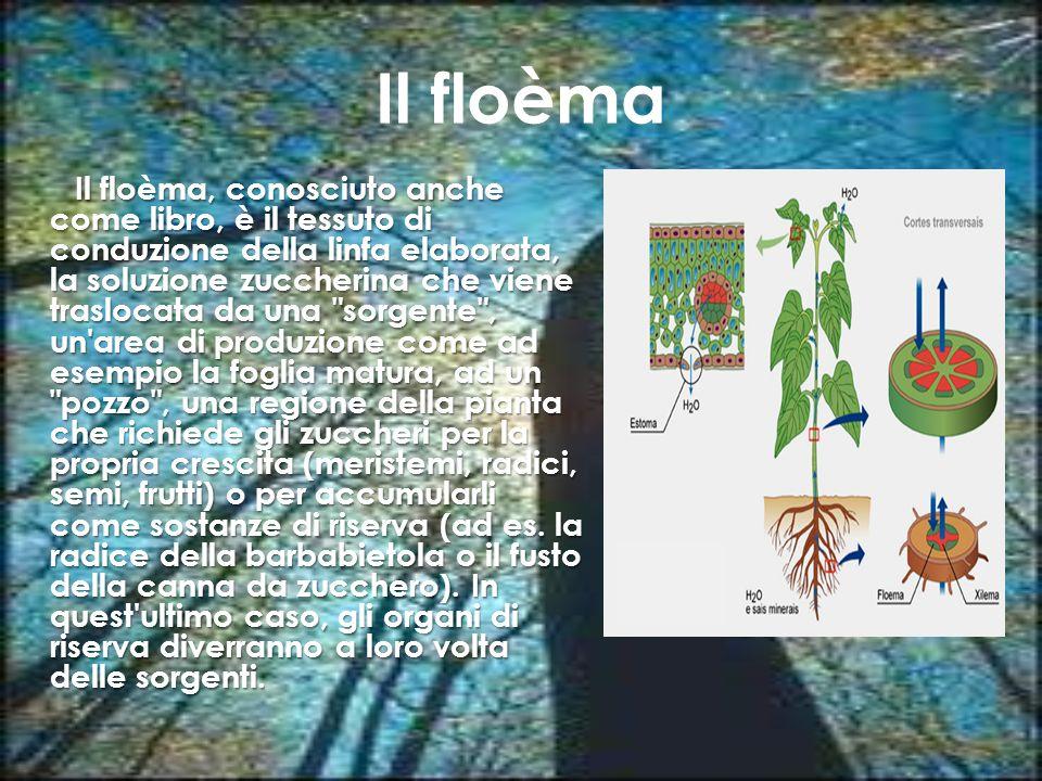 Il floèma Il floèma, conosciuto anche come libro, è il tessuto di conduzione della linfa elaborata, la soluzione zuccherina che viene traslocata da un