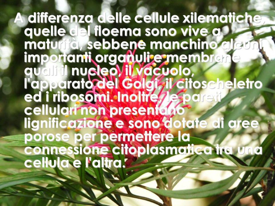 A differenza delle cellule xilematiche, quelle del floema sono vive a maturità, sebbene manchino alcuni importanti organuli e membrane quali il nucleo