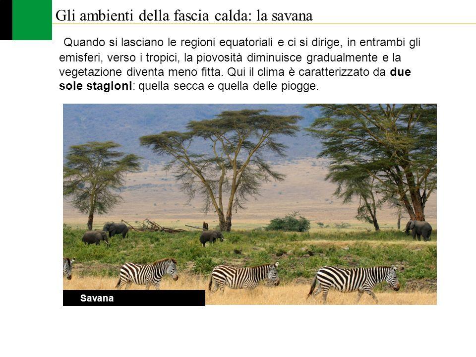 Gli ambienti della fascia calda: la savana La Savana Quando si lasciano le regioni equatoriali e ci si dirige, in entrambi gli emisferi, verso i tropi