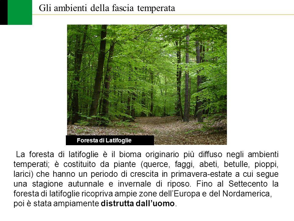 Gli ambienti della fascia temperata La foresta di latifoglie è il bioma originario più diffuso negli ambienti temperati; è costituito da piante (querc