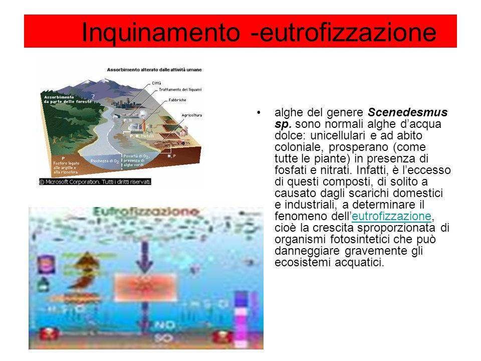 Inquinamento -eutrofizzazione alghe del genere Scenedesmus sp. sono normali alghe dacqua dolce: unicellulari e ad abito coloniale, prosperano (come tu
