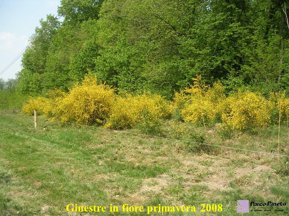 Ginestre in fiore primavera 2008