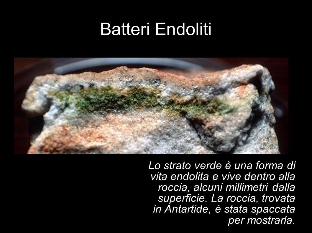 Batteri Endoliti Lo strato verde è una forma di vita endolita e vive dentro alla roccia, alcuni millimetri dalla superficie. La roccia, trovata in Ant