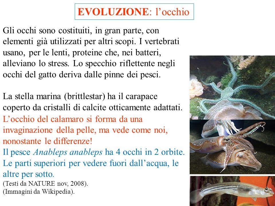 EVOLUZIONE: locchio Una delle critiche (infondate) alla teoria dell'evoluzione riguarda lo sviluppo dell'occhio: