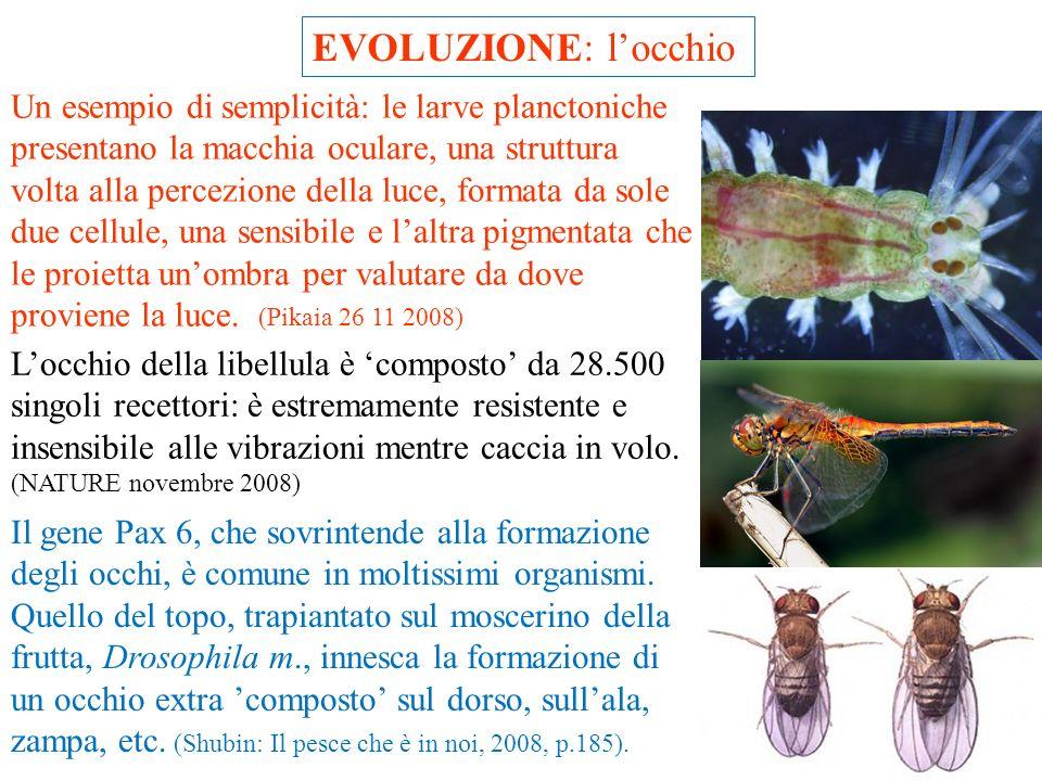 EVOLUZIONE: locchio Gli occhi sono costituiti, in gran parte, con elementi già utilizzati per altri scopi. I vertebrati usano, per le lenti, proteine