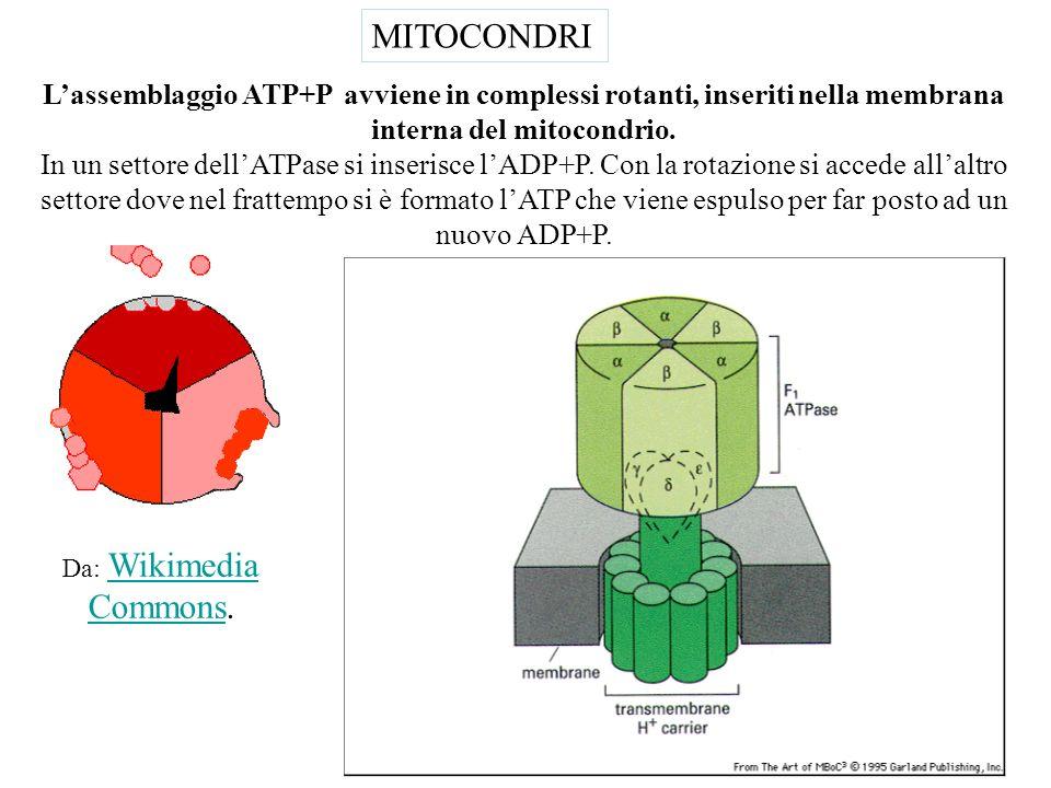 Mitocondrio,