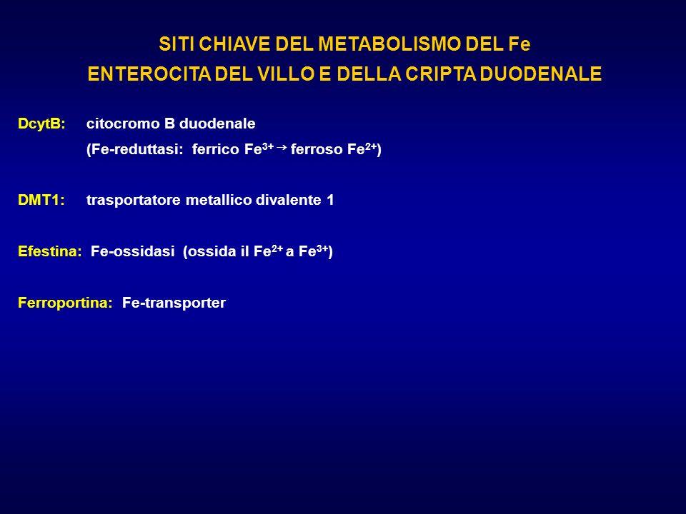 SITI CHIAVE DEL METABOLISMO DEL Fe ENTEROCITA DEL VILLO E DELLA CRIPTA DUODENALE DcytB: citocromo B duodenale (Fe-reduttasi: ferrico Fe 3+ ferroso Fe