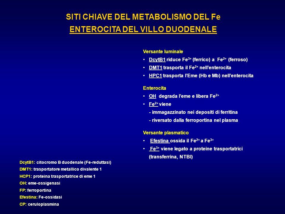 SITI CHIAVE DEL METABOLISMO DEL Fe ENTEROCITA DEL VILLO DUODENALE DcytB1: citocromo B duodenale (Fe-reduttasi) DMT1: trasportatore metallico divalente