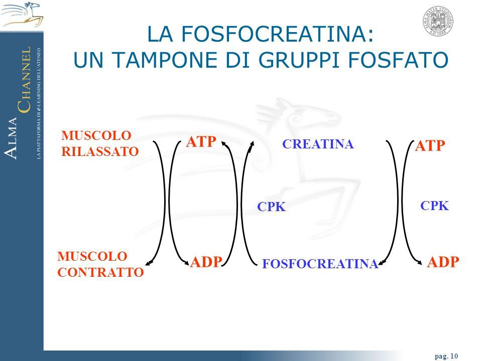 pag. 10 LA FOSFOCREATINA: UN TAMPONE DI GRUPPI FOSFATO MUSCOLO RILASSATO MUSCOLO CONTRATTO ATP CREATINA FOSFOCREATINA ADP CPK ATP ADP CPK