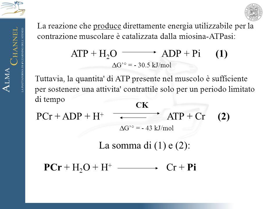 La reazione che produce direttamente energia utilizzabile per la contrazione muscolare è catalizzata dalla miosina-ATPasi: ATP + H 2 OADP + Pi (1) CK