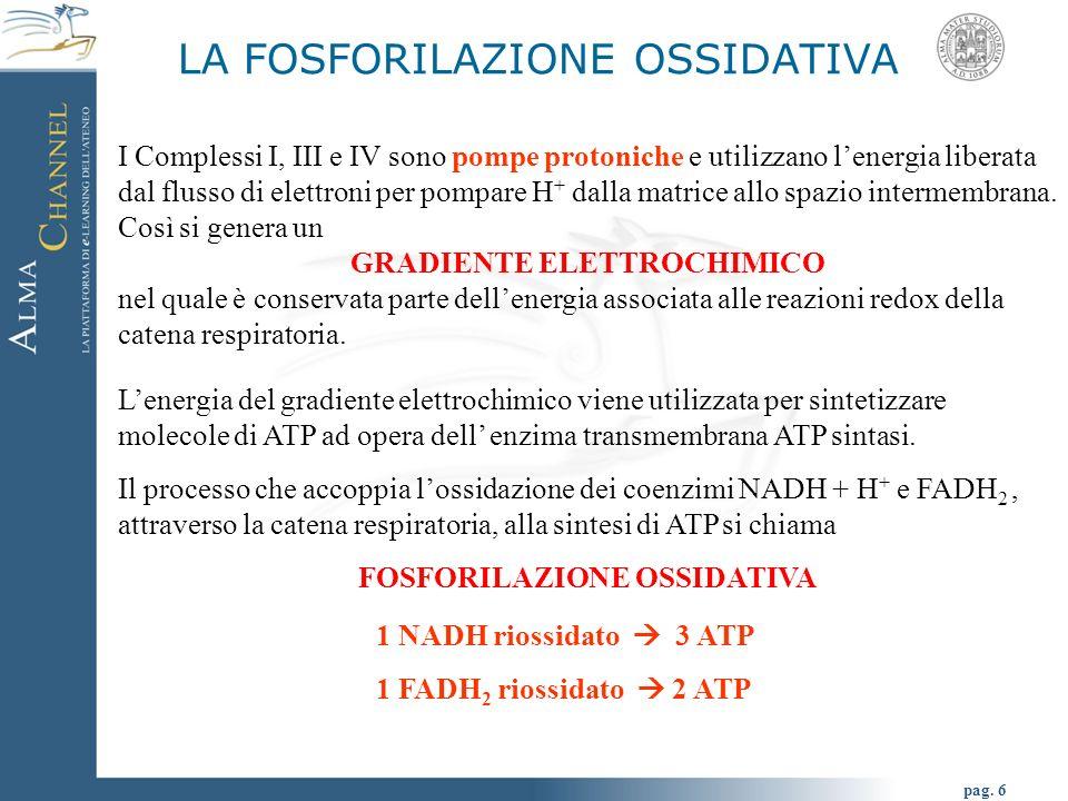 pag. 6 LA FOSFORILAZIONE OSSIDATIVA I Complessi I, III e IV sono pompe protoniche e utilizzano lenergia liberata dal flusso di elettroni per pompare H