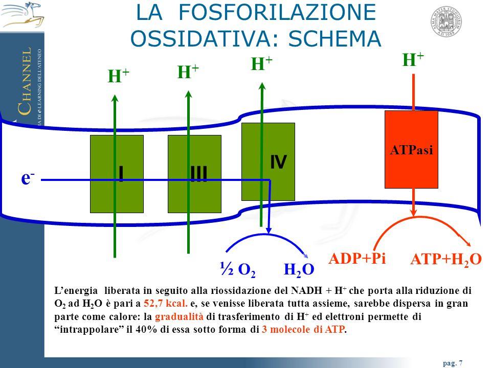 pag. 7 LA FOSFORILAZIONE OSSIDATIVA: SCHEMA I IV ATPasi H+H+ H+H+ H+H+ III H+H+ e- e- ½ O 2 H 2 O ADP+Pi ATP+H 2 O Lenergia liberata in seguito alla r