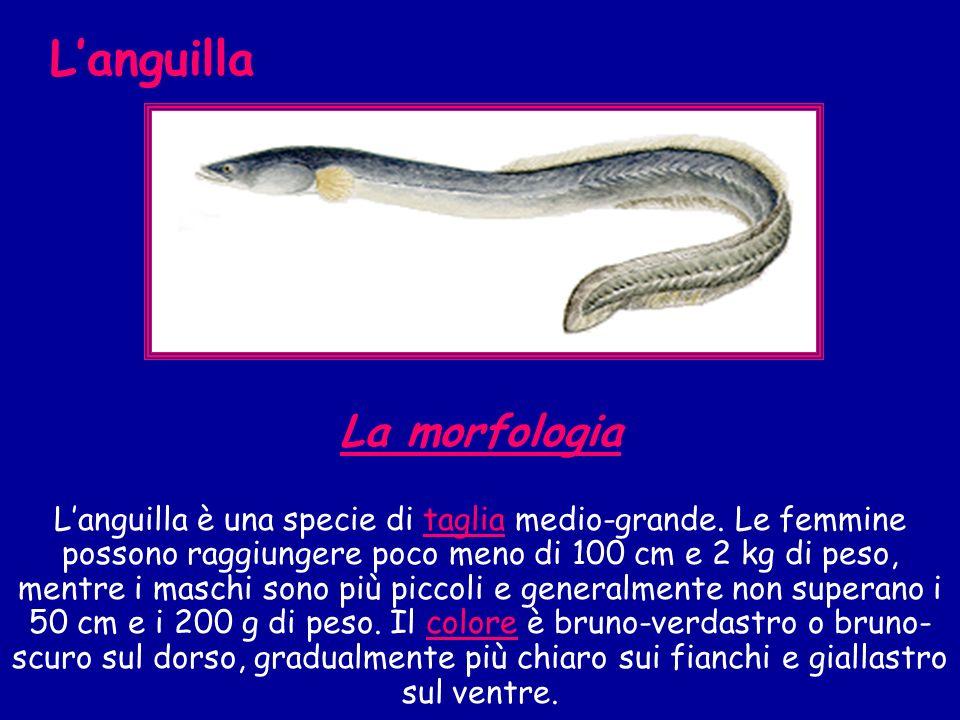 La morfologia Languilla è una specie di taglia medio-grande. Le femmine possono raggiungere poco meno di 100 cm e 2 kg di peso, mentre i maschi sono p