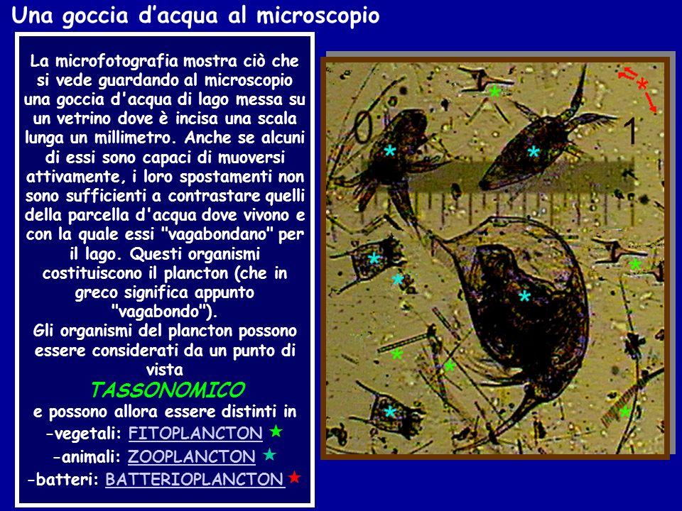 La microfotografia mostra ciò che si vede guardando al microscopio una goccia d'acqua di lago messa su un vetrino dove è incisa una scala lunga un mil