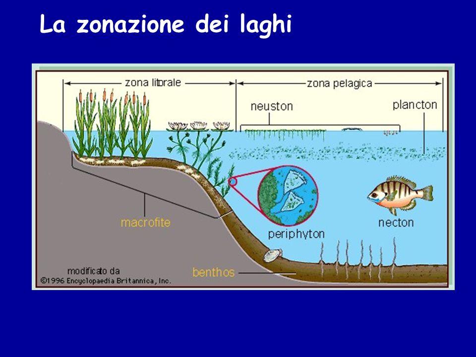 Plancton: organismi animali e vegetali che vivono sospesi nellacqua La classificazione ecologica degli organismi acquatici Benthos: organismi viventi a stretto contatto con il fondo (larve di insetti, molluschi, crostacei).