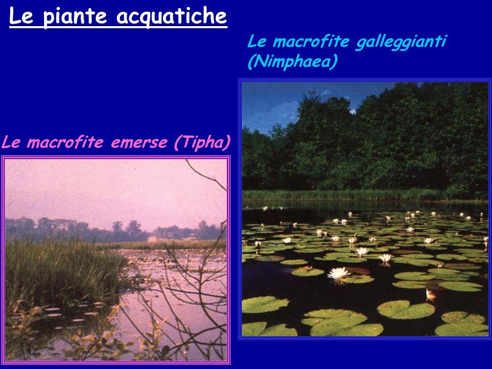 Le macrofite sommerse (Miriophillum)