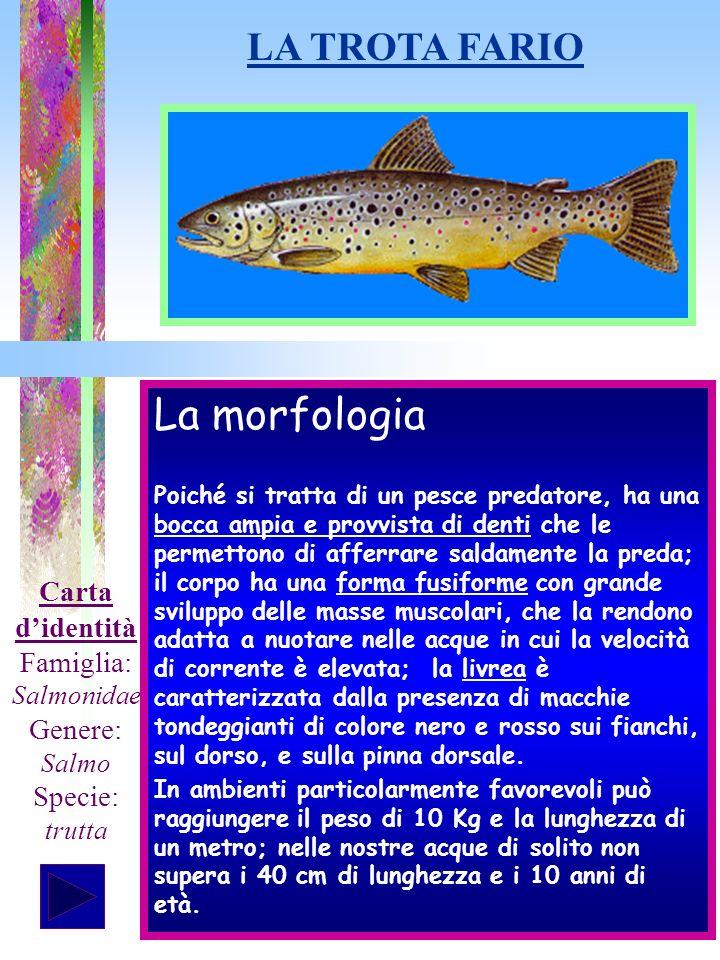 La morfologia Poiché si tratta di un pesce predatore, ha una bocca ampia e provvista di denti che le permettono di afferrare saldamente la preda; il c