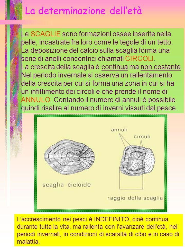 La determinazione delletà Le SCAGLIE sono formazioni ossee inserite nella pelle, incastrate fra loro come le tegole di un tetto. La deposizione del ca