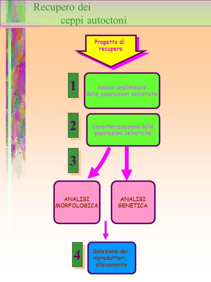 Progetto di recupero Progetto di recupero Analisi preliminare delle popolazioni selvatiche Selezione dei riproduttori, allevamento Caratterizzazione d