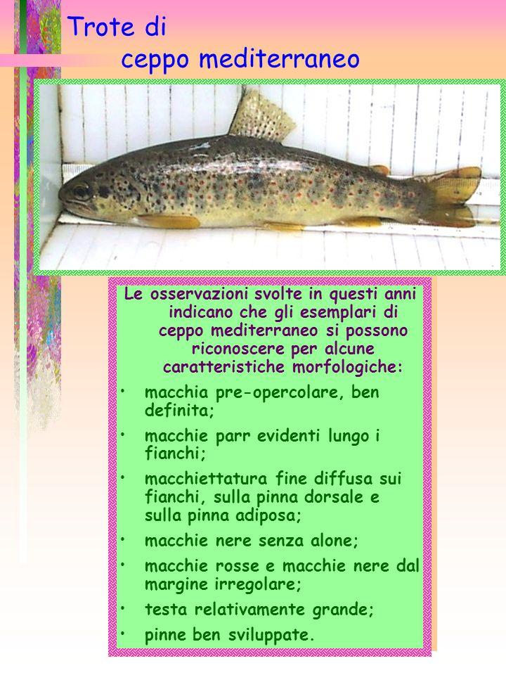 Trote di ceppo mediterraneo Le osservazioni svolte in questi anni indicano che gli esemplari di ceppo mediterraneo si possono riconoscere per alcune c