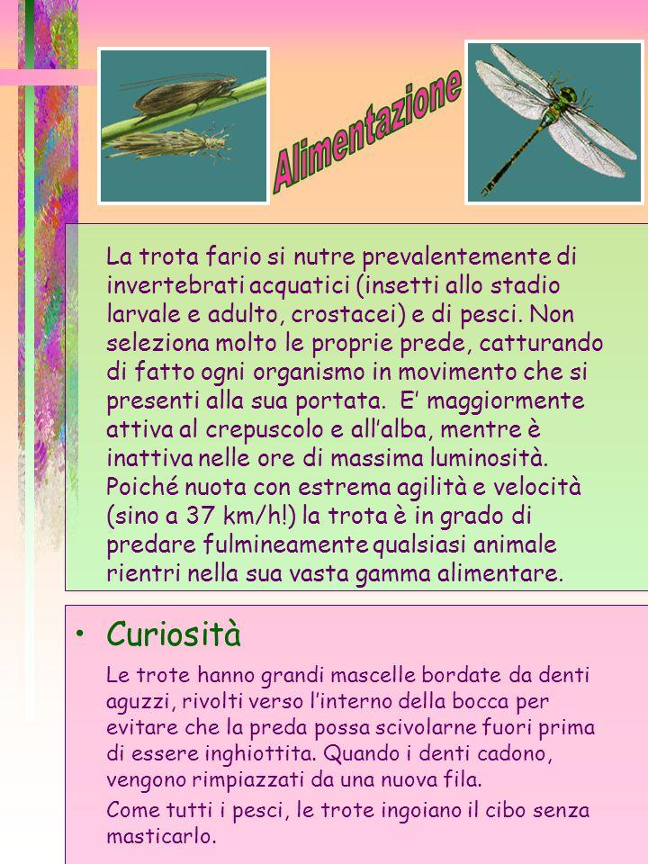 La trota fario si nutre prevalentemente di invertebrati acquatici (insetti allo stadio larvale e adulto, crostacei) e di pesci. Non seleziona molto le