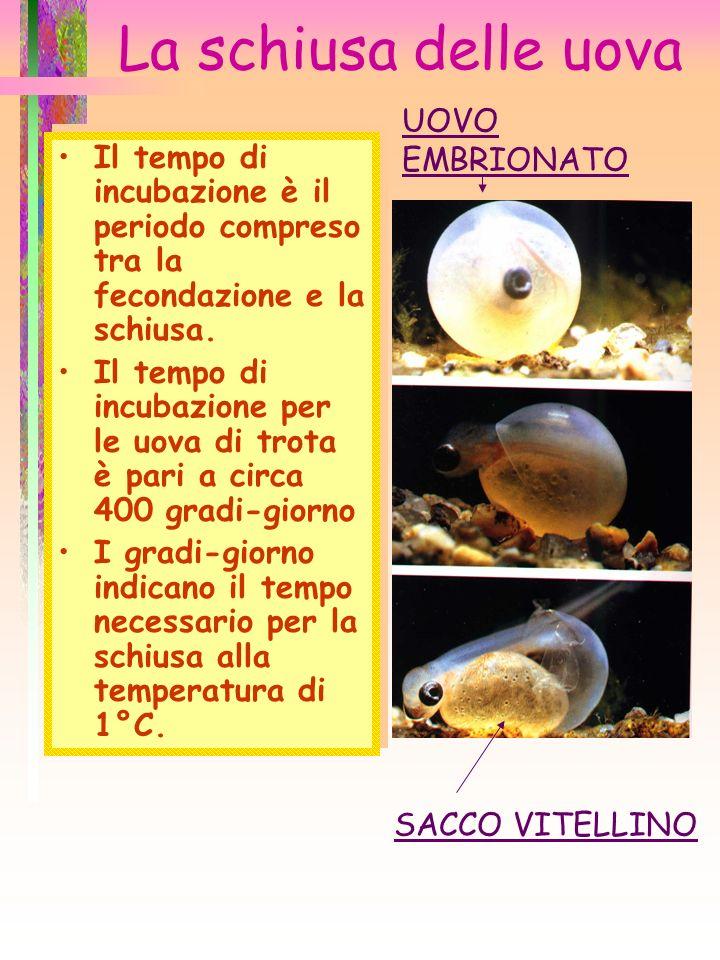 La schiusa delle uova Il tempo di incubazione è il periodo compreso tra la fecondazione e la schiusa. Il tempo di incubazione per le uova di trota è p