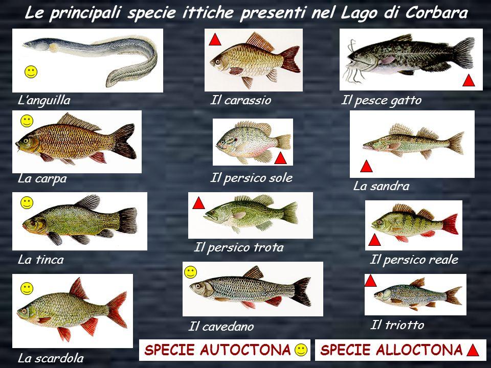 Le principali specie ittiche presenti nel Lago di Corbara Languilla La carpa La tinca La scardola Il carassio Il persico sole Il triotto Il cavedano I