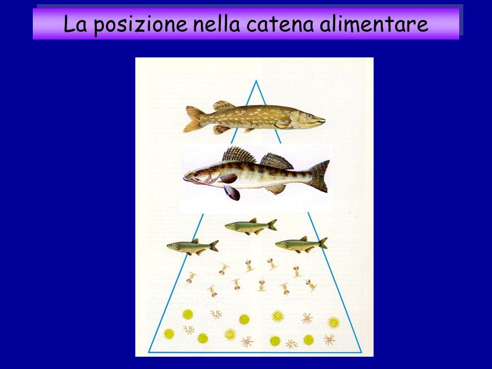 La posizione nella catena alimentare