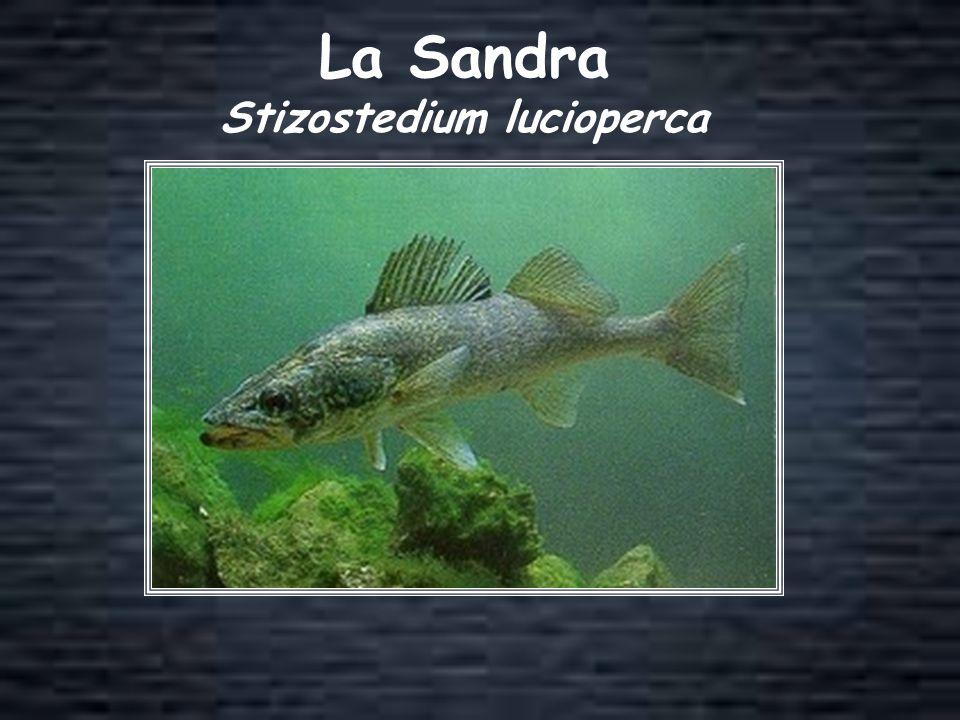 La Sandra Stizostedium lucioperca