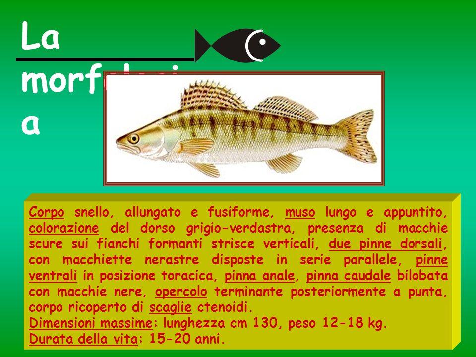 Corpo snello, allungato e fusiforme, muso lungo e appuntito, colorazione del dorso grigio-verdastra, presenza di macchie scure sui fianchi formanti st