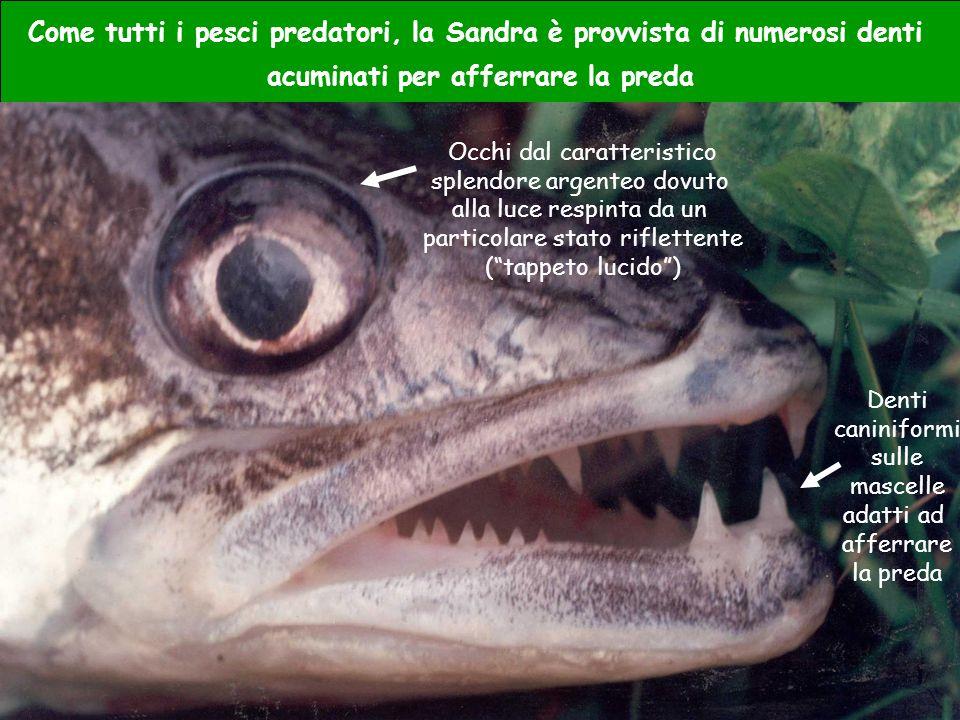 Come tutti i pesci predatori, la Sandra è provvista di numerosi denti acuminati per afferrare la preda Occhi dal caratteristico splendore argenteo dov