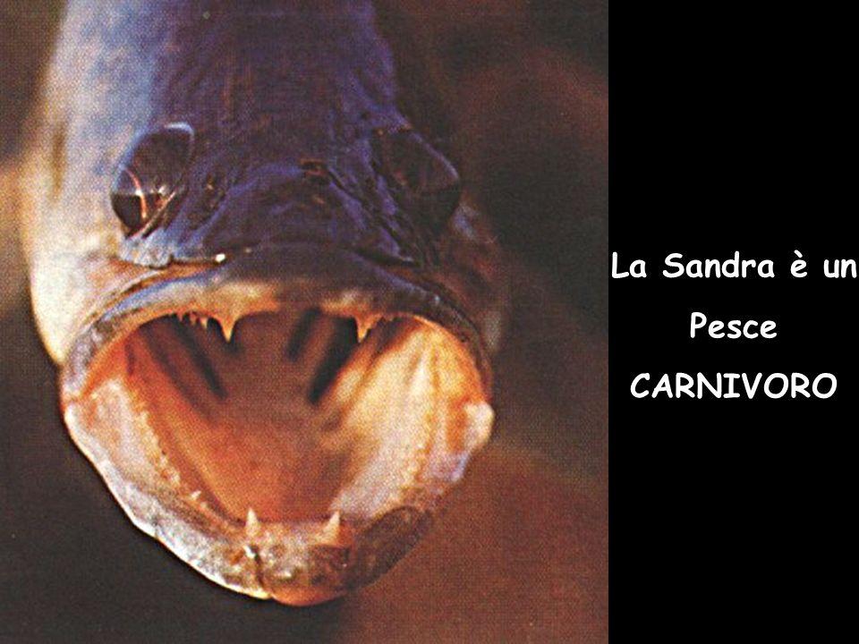 La Sandra è un Pesce CARNIVORO