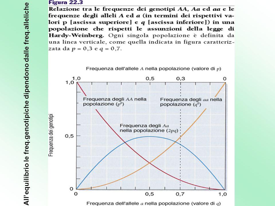 Allequilibrio le freq.genotipiche dipendono dalle freq.alleliche