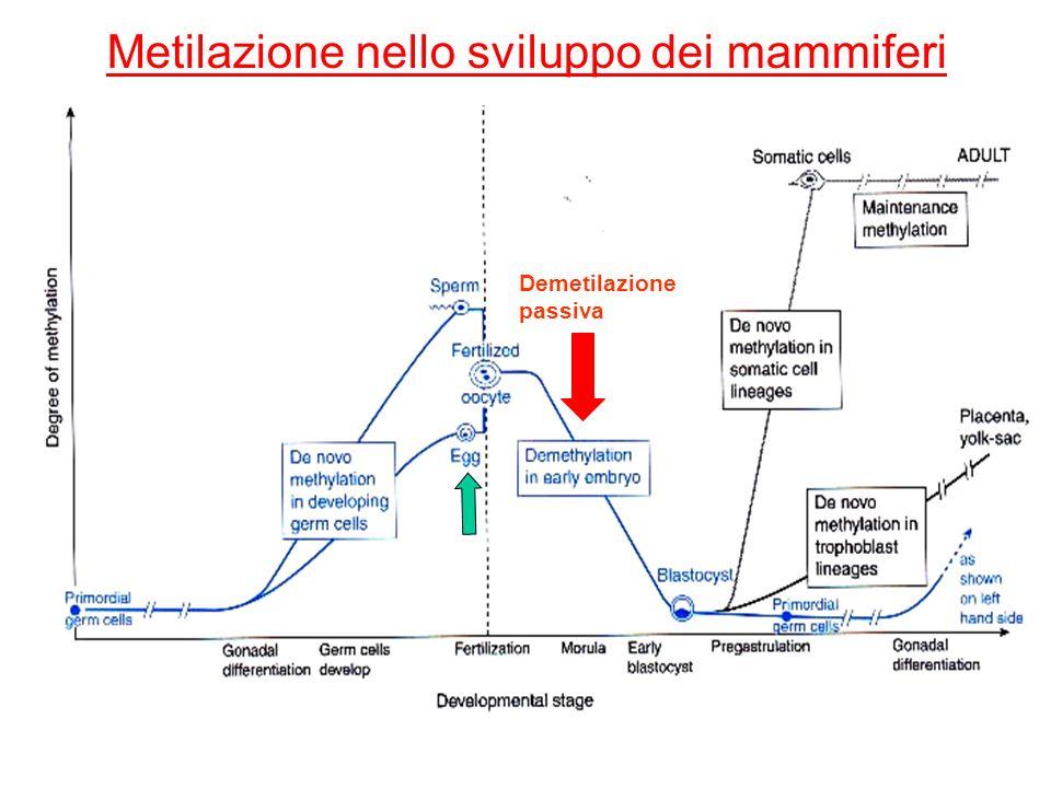 Metilazione nello sviluppo dei mammiferi Demetilazione passiva