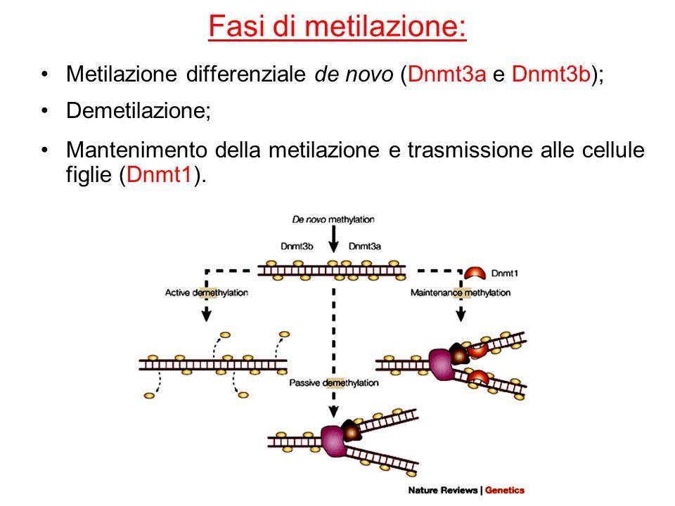 Fasi di metilazione: Metilazione differenziale de novo (Dnmt3a e Dnmt3b); Demetilazione; Mantenimento della metilazione e trasmissione alle cellule fi